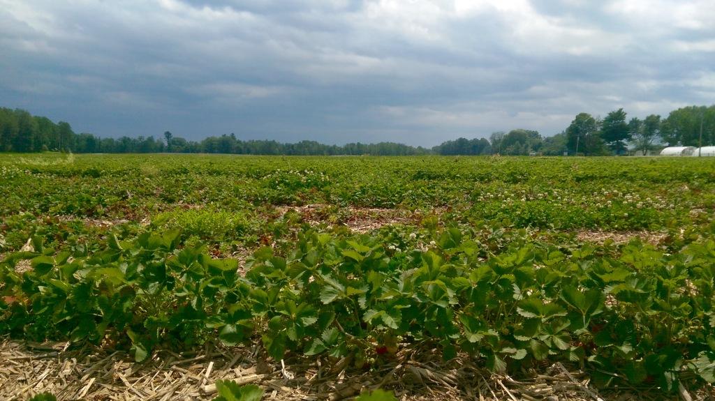 Hand Farm in Greenwich, New York. Strawberry fields.
