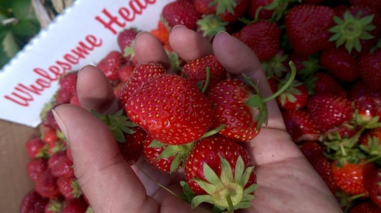 Jewel strawberries at Hand Melon Farm.