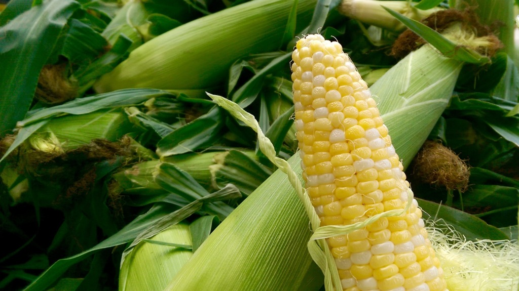 Heirloom corn grown in Saratoga County, New York.