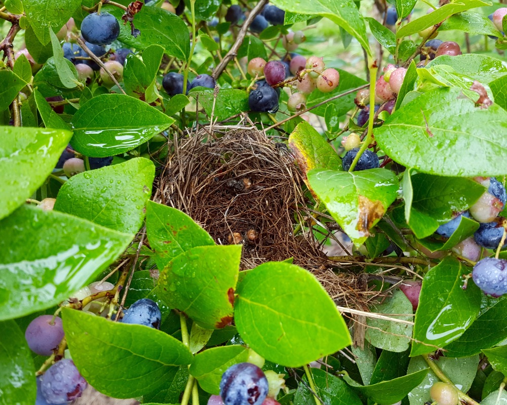 NY_blueberry_nest.jpg