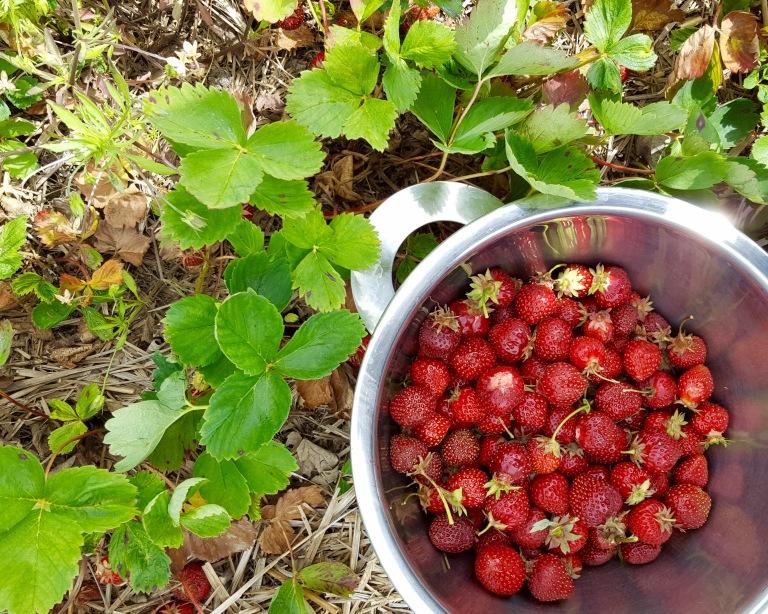 NY_strawberry_picking.jpg