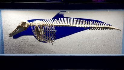 Dolphin skeleton, Interactive Aquarium, Cancun.
