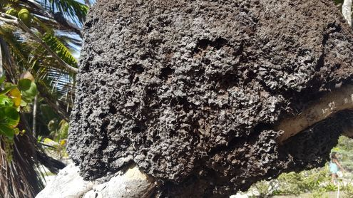 Stingless bee hive at Zona Arqueologica de Tulum